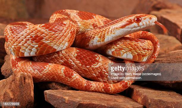 corn snake - corn snake stock pictures, royalty-free photos & images