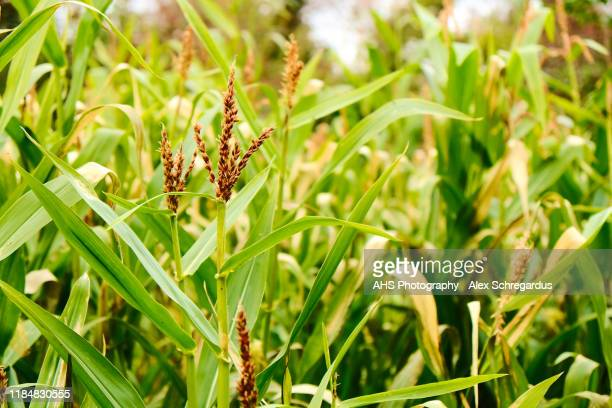 corn stem in a corn field - field stock pictures, royalty-free photos & images