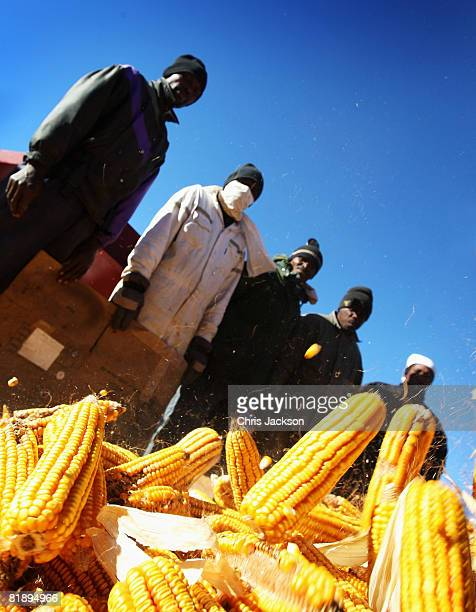 Corn tumbles from the back of a lorry as it is prepared to be stripped from the husk at the Reitutsire orphanage on July 10 2008 in Maseru Lesotho...