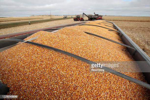 Corn waits to be transported to storage bins during a harvest at a farm near Carman Manitoba Canada on Saturday Oct 10 2020 Costs of staples slumped...