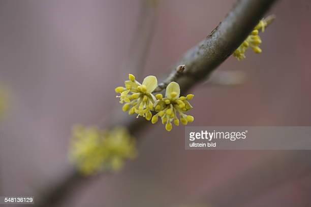 cornel cherry tree
