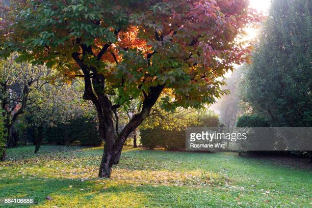 Corner of Italian garden at sunrise with persimmon tree.