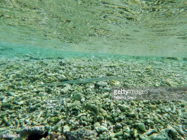 Cornetfish (Fistularia Commersonii) In Low Tide