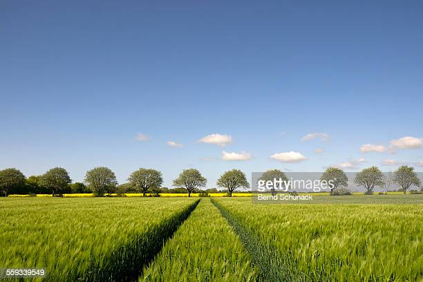 cornfield and blooming trees - bernd schunack stock photos and pictures