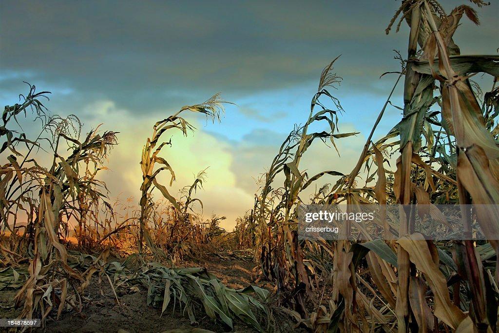 Cornfield at Sunset : Stock Photo