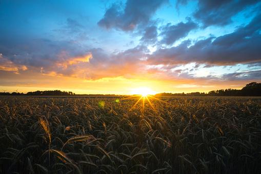 Cornfield sunset - gettyimageskorea