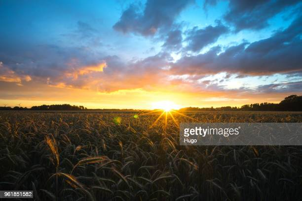 cornfield sunset - moody sky stock pictures, royalty-free photos & images