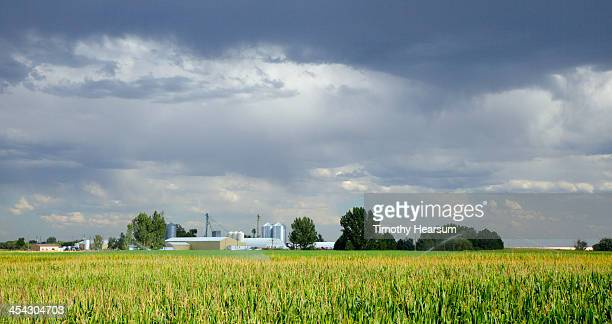 cornfield with farm buildings beyond - timothy hearsum stock-fotos und bilder