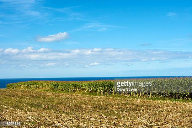 Cornfields by Bay of Biscay, Cabo Busto.