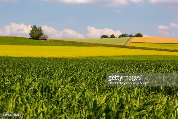 cornfields - gerold guggenbuehl stock-fotos und bilder