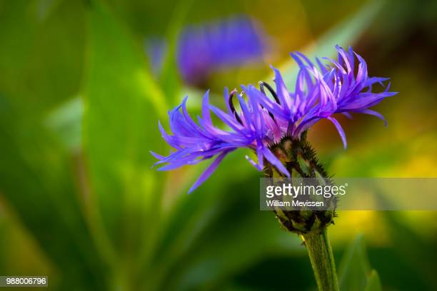 cornflower 'blooming' - william mevissen bildbanksfoton och bilder