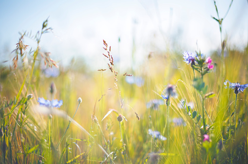 Cornflower [Centaurea cyanus] in summer on grainfield 465640394