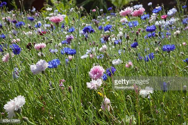 Cornflower Centaurea cyanus Meadow of mixed wild flowers including white pink and blue cornflowers England West Sussex Chichester