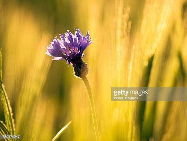 cornflower in golden sunset light - bernd schunack stock photos and pictures