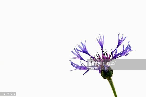 Cornflower (Centaura), May