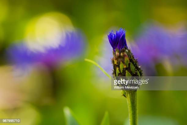 cornflower 'opening' - william mevissen stockfoto's en -beelden