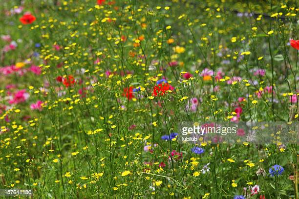 Cornflower, poppy, buttercups, godetia and other wildflowers in  summer meadow