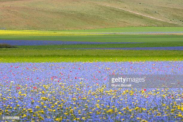 cornflowers and barley fileds - castelluccio stock photos and pictures