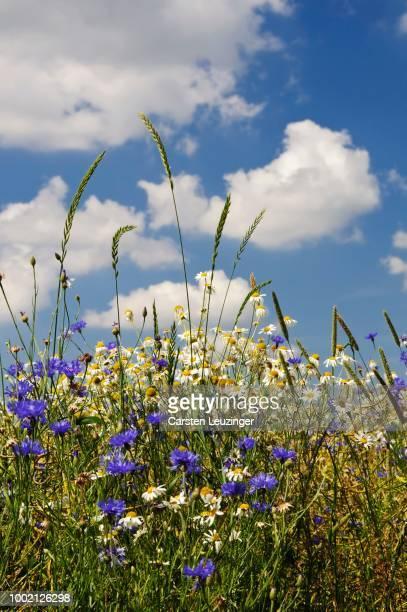 Cornflowers (Centaurea cyanus), Chamomile (Matricaria chamomilla) and grasses, on a rape field