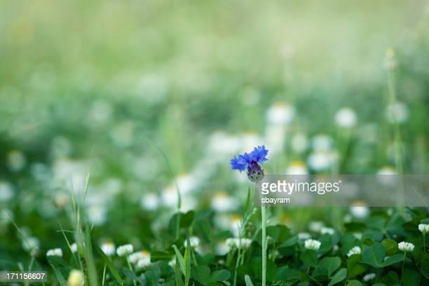 Cornflowers (XXXL