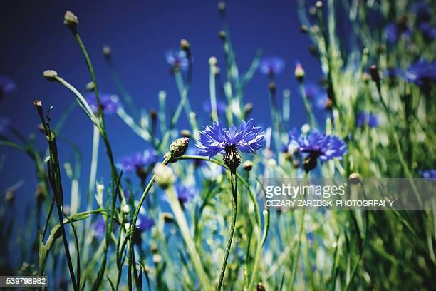 Cornflowers rowing in field