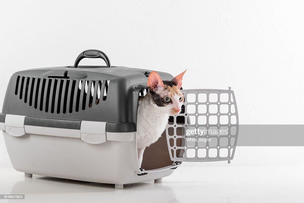 Cornish Rex Cat and Carrier. : Stock Photo