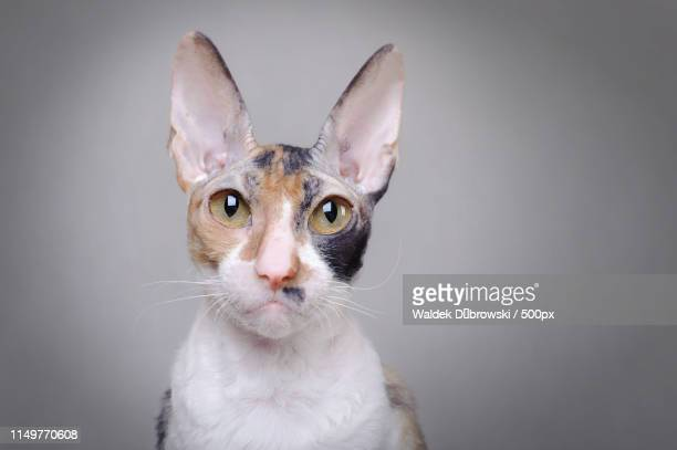 367 Cornish Rex Photos And Premium High Res Pictures Getty Images