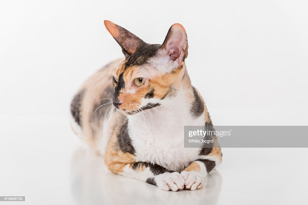Cornish Rex Cat : Stock Photo