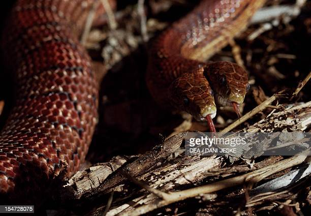 Cornsnake Colubridae Eastern United States