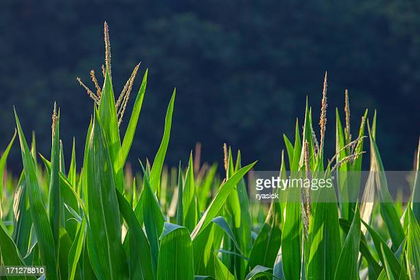 cornstalk tassels closeup - tassel stock pictures, royalty-free photos & images