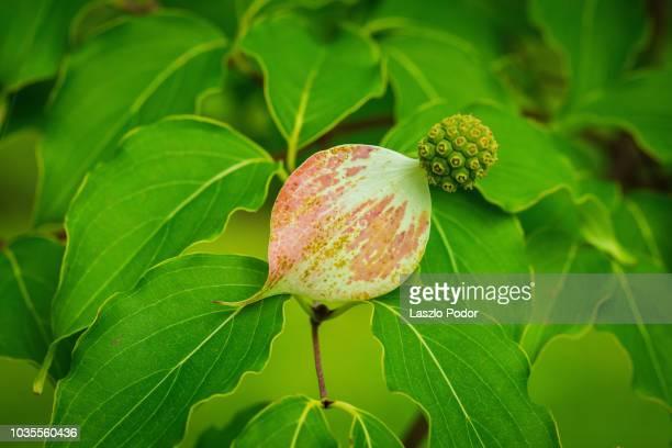 cornus kousa dogwood fruit - kousa dogwood stock pictures, royalty-free photos & images