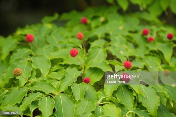 cornus kousa dogwood with its ripe fruits - kousa dogwood stock pictures, royalty-free photos & images