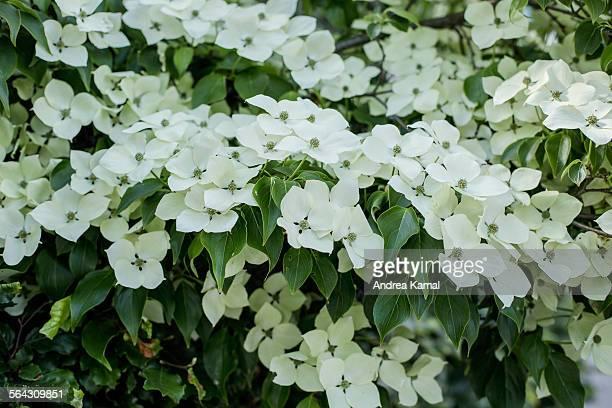 cornus kousa flowers / kousa dogwood - kousa dogwood stock pictures, royalty-free photos & images