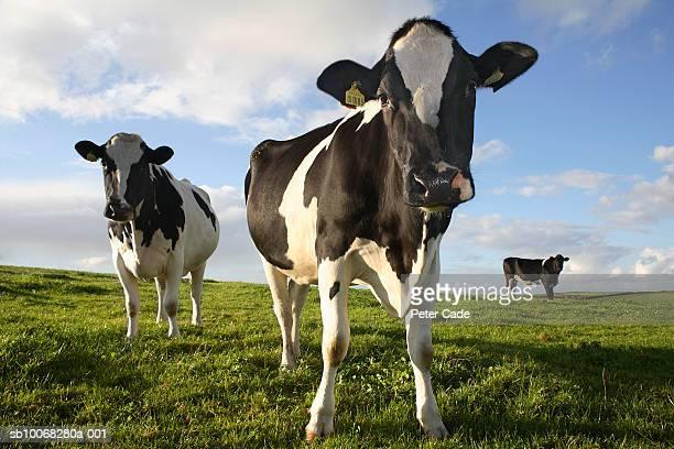 UK, Cornwall, Three cows standing in field