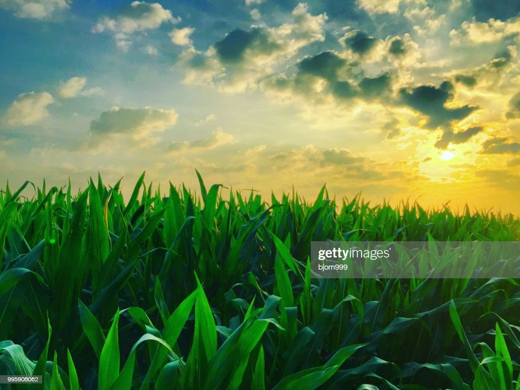 Corny zonsopgang : Stockfoto