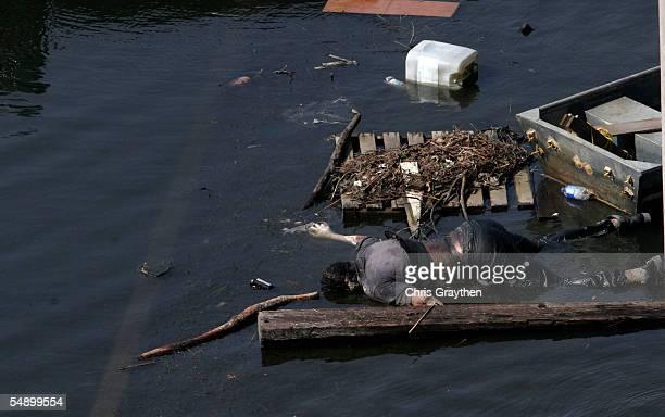 A corpse floats in the water in the Lower Ninth Ward after Hurricane Katrina on September 5 2005 in New Orleans Louisiana An estimated 15 million...