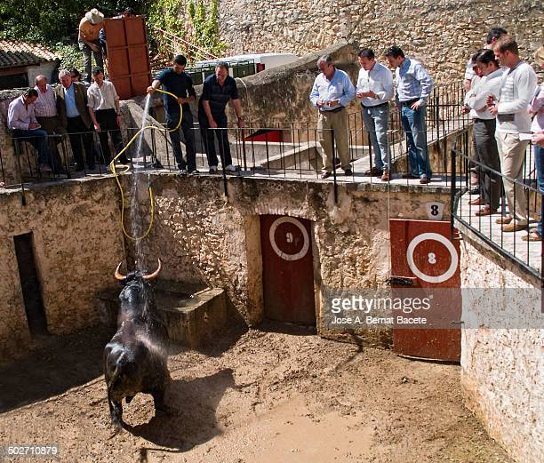 Corrals of a bullring, moment of the unload of the bull from the truck and release in the corroles, one calms them a bit with a hose with water,...