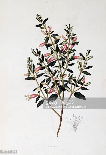 Correa Reflexa drawing by John Frederick Miller watercolour from Local plants and flowers New Zealand 18th century London Natural History Museum