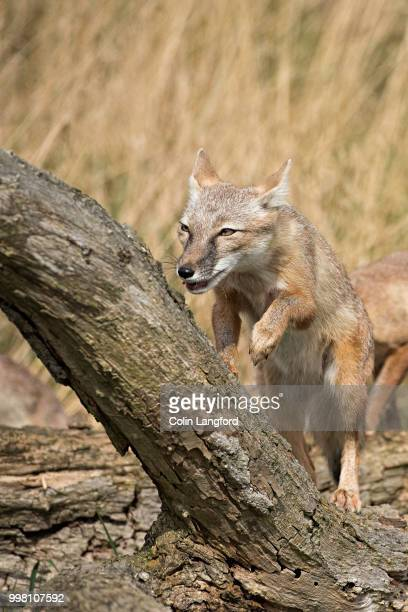 corsac fox series - gray fox stockfoto's en -beelden