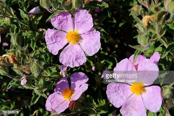 Corsica Calvi Region Flowers of bush near Calvi