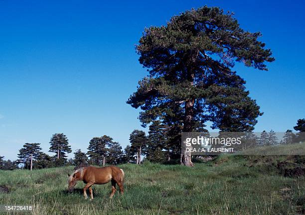 Corsican pine Pinaceae