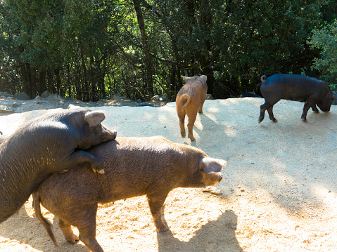 Corsican wild pigs walk freely in Corsica 1278037571