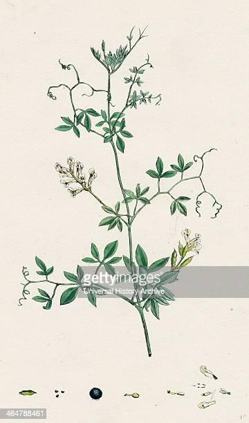 Corydalis claviculata White climbing Fumitory
