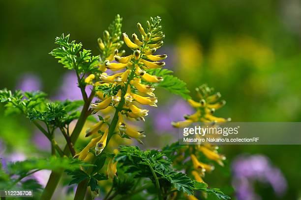 corydalis hondoensis ohwi - chofu stock pictures, royalty-free photos & images