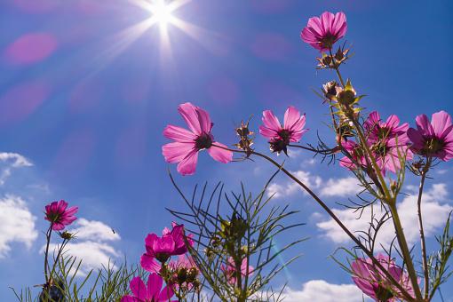 Cosmos bipinnatus against blue sky - gettyimageskorea