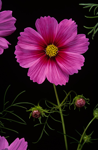 Cosmos bipinnatus (garden cosmos, Mexican aster) - gettyimageskorea