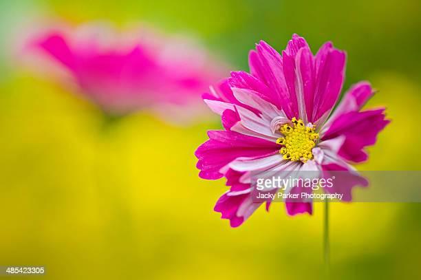 Cosmos Bipinnatus single pink flower head