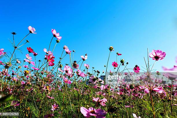 Cosmos Blooming On Field Against Clear Sky