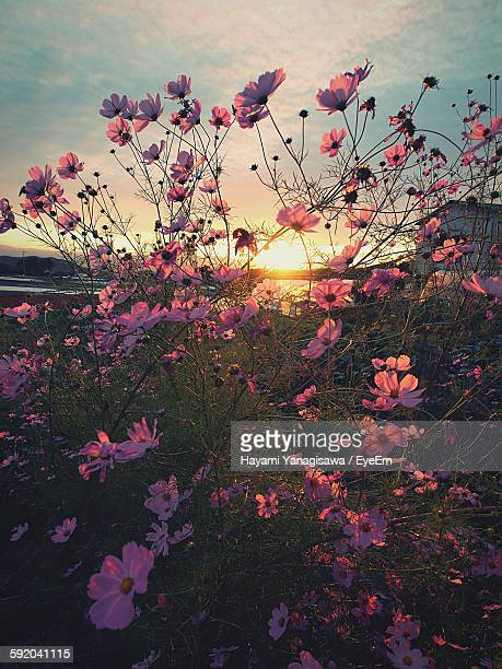 Cosmos Blooming On Field Against Sky At Sunset