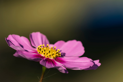 A cosmos blooms in autumn - gettyimageskorea